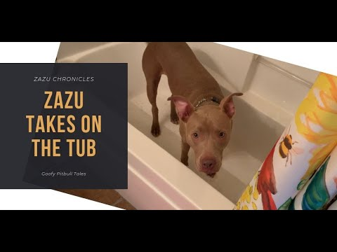 pitbull-refuses-to-get-out-of-the-tub-|-zazu-chronicles
