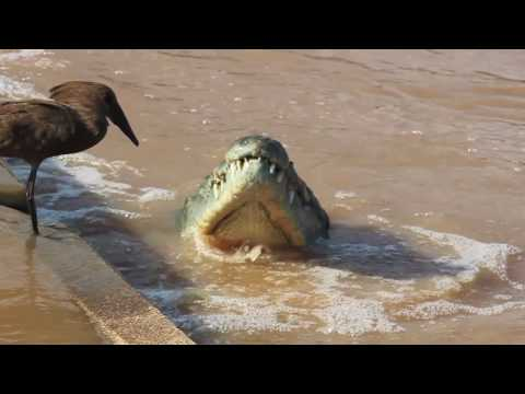 Hamerkop And Crocodile Fishing.