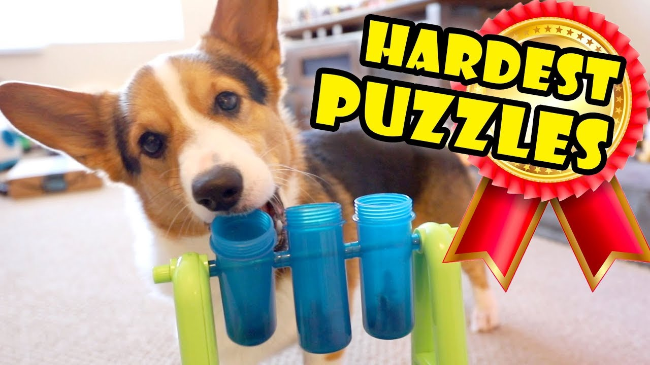corgi-attempts-hardest-dog-puzzles-extra-after-college