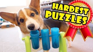 Smart CORGI Breed On HARDEST DOG PUZZLES || Extra After College