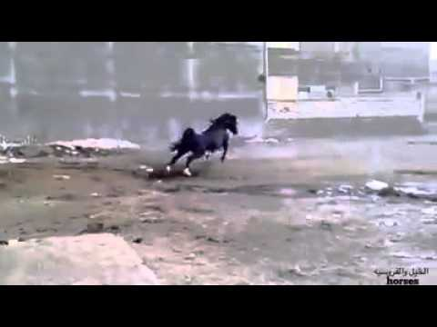 الخيل العربي الأصيل The Pure Arabian Horse