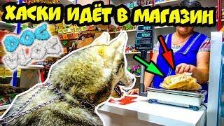 DOGVLOG: ХАСКИ ИДЕТ В МАГАЗИН. Говорящая собака