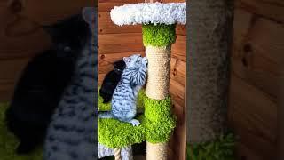 Британские котята 2 мес.