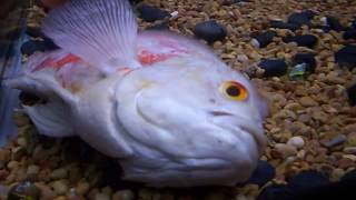 My Oscar Cichlid Last Video :