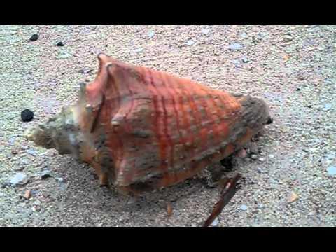 The living Sea Shell