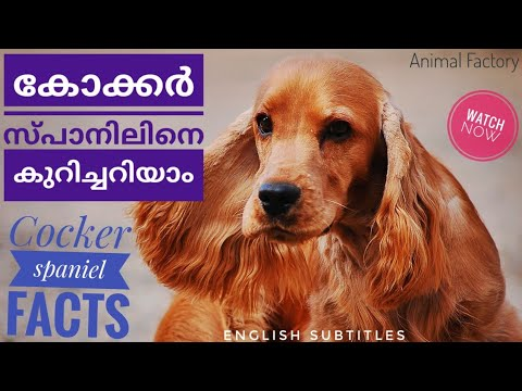 English cocker spaniel | Malayalam | Animal Factory