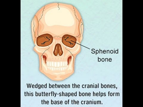 structure and functions of the sphenoid bone - youtube, Human Body