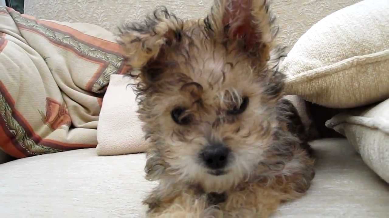 Bichon Yorkie Cross Puppy Youtube