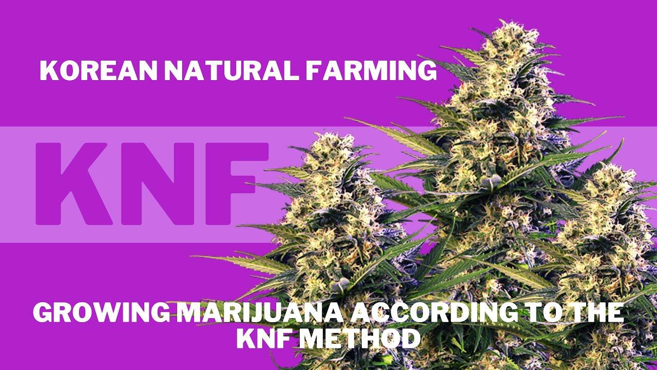Growing marijuana according to the KNF method. Gorilla Girl XL Auto. Fat Banana Auto.