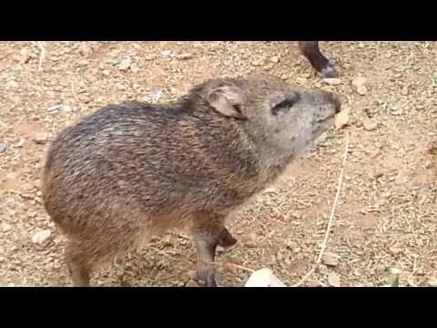 Baby Javelina in Tucson Arizona