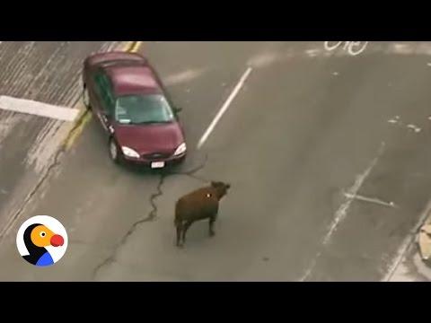 Cows Who Escape Slaughterhouse Are Finally Safe | The Dodo