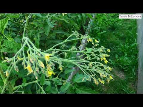 Цветы и завязи сорта томата ЮБИЛЕЙНЫЙ ТАРАСЕНКО.