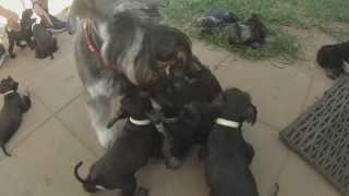 Gopro: Miniature Schnauzer Puppies