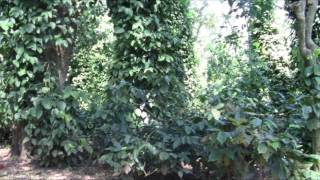 På jagt efter god kaffe: Skyggedyrkning