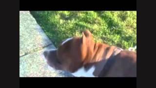 Apollo-american Bulldog/pit Bull Terrier Mix