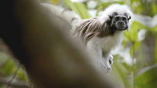 This Alpha Female Tamarin Has Taken a Dislike to an Outsider