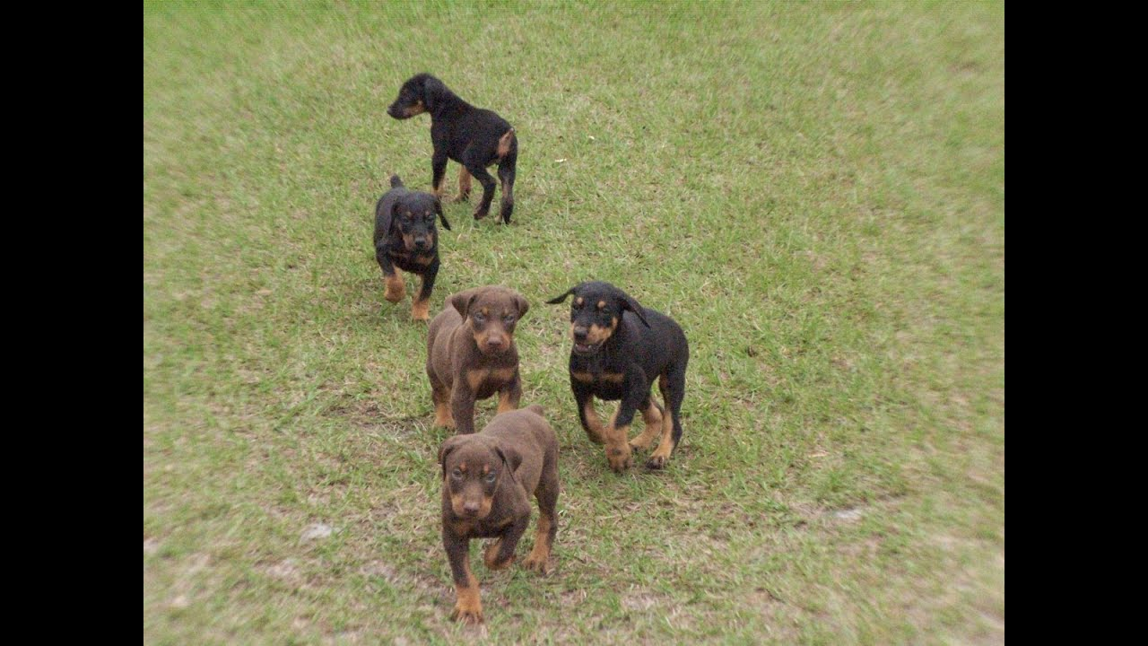 Doberman Pinscher Puppies For Sale Craigslist ...