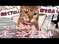 ベンガル猫ベルのモーニングコールがしつこくて可愛い