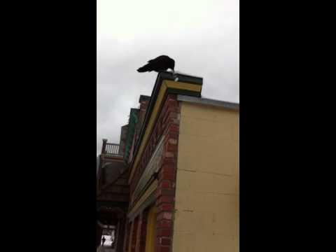 Raven in Kaslo