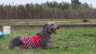アイリッシュウルフハウンドです。 子犬の詳細は → http://www.angelwan...