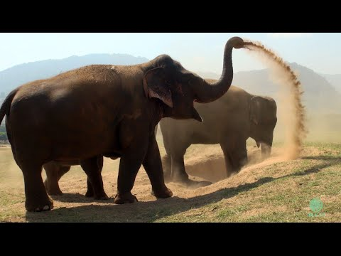 Elephant in slow motion movement [60fps]