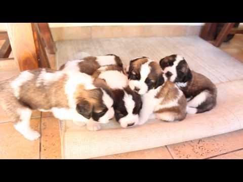 Cachorros San Bernardo 30 días