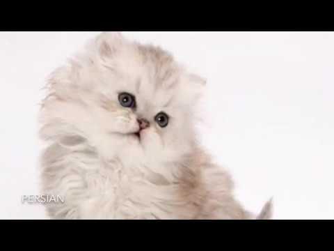 Top Ten Cutest Cat Breeds In The World!🐱