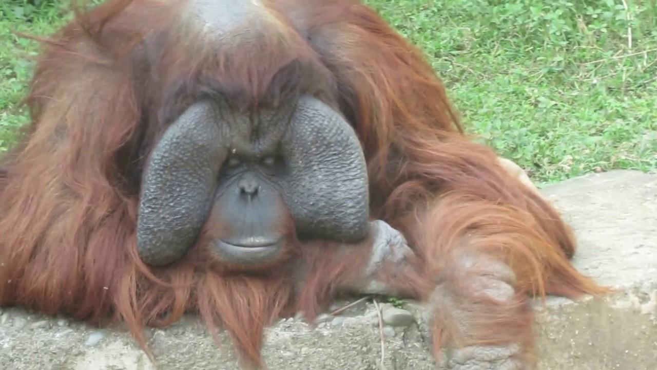 20130216新竹動物園--老態龍鍾的紅毛猩猩 - YouTube
