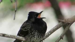【ハワイの野鳥】 シリアカヒヨドリ Red-vented Bulbul