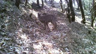 Himalayan Mountain Goat or Goral forages with great confident among wildfilmsindia Oak forests