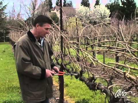 How to Prune a Grape Vine