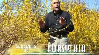 Pruning Forsythia