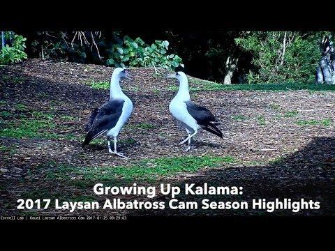 Growing Up Kalama: 2017 Laysan Albatross Cam Highlights