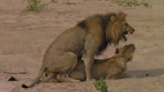Father and son on safari - mating lions