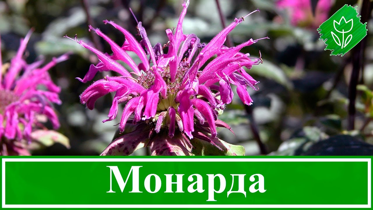 🌸 Цветок монарда – посадка и уход в открытом грунте, виды и сорта монарды