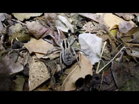 Lycosa praegrandis spider - Cyprus