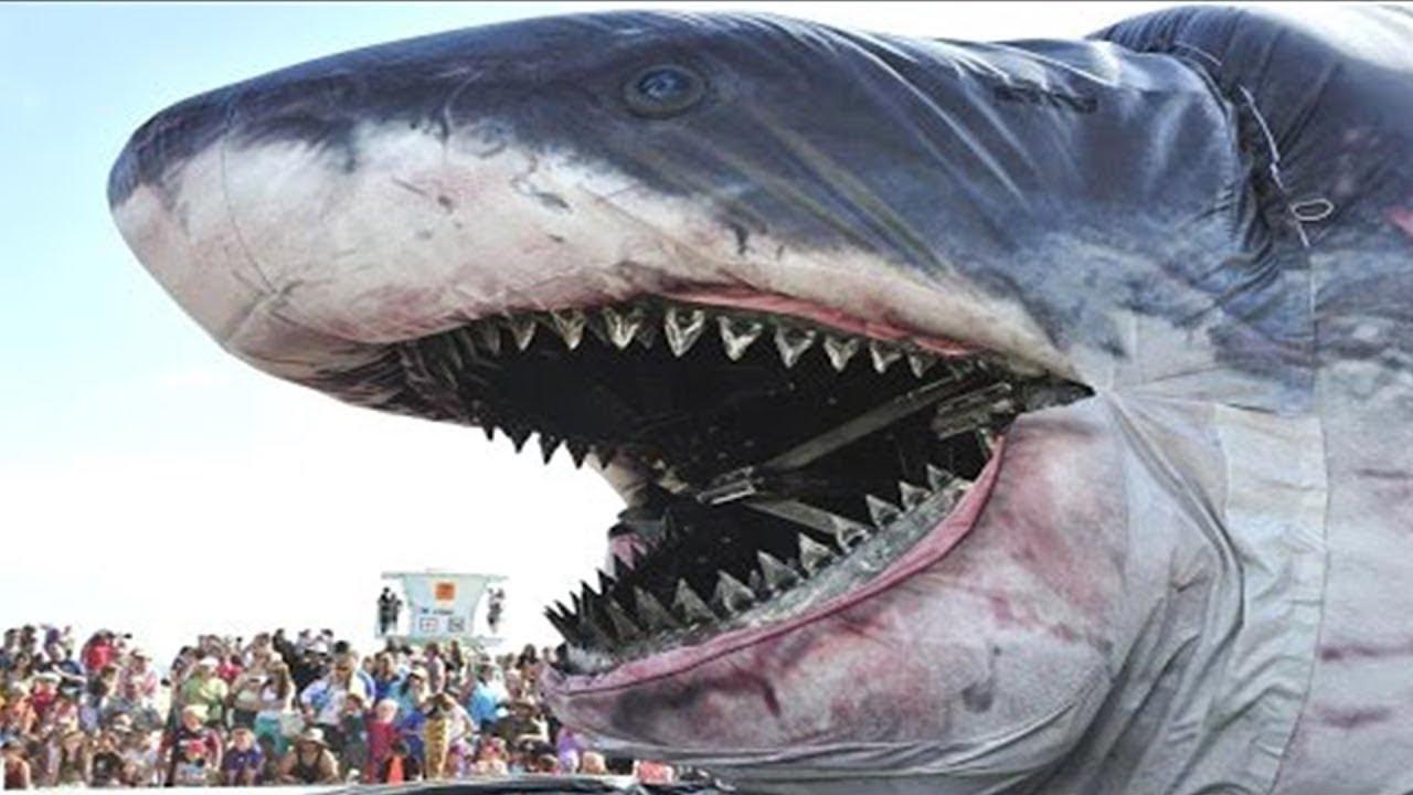 15 окт 2016. Более 4 миллионов просмотров за два дня собрало видео, появившееся 13 октября на youtube. Оно было снято у берегов мексиканского острова гуадалупе. Большая белая акула сумела прорваться в клетку, в которой находился дайвер, снимавший опасную хищницу!. Когда люди на судне.