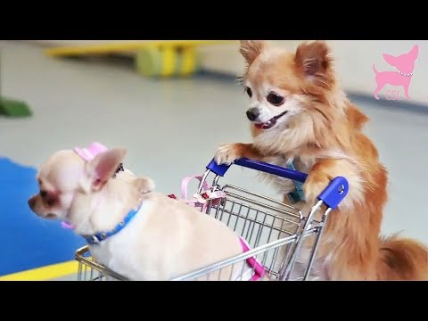 Cute Chihuahua Dog Tricks with Tiny Shopping Cart
