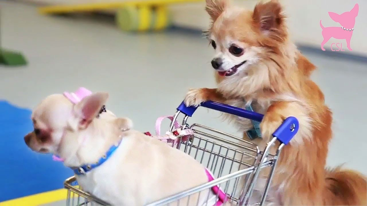 cute chihuahua dog tricks with tiny shopping cart youtube. Black Bedroom Furniture Sets. Home Design Ideas
