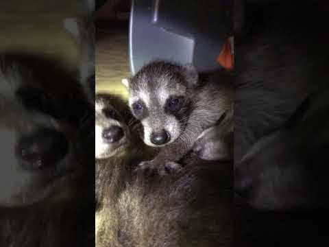 Baby Raccoons in the Attic Nassau County Animal Control