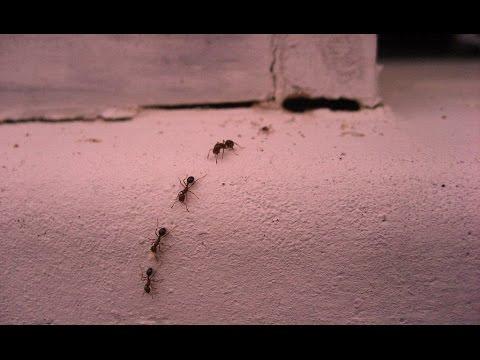 Как избавиться от домашних муравьев  #вывестимуравьев #edblack