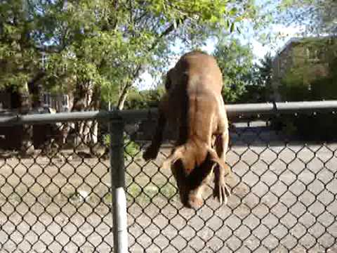 Red Nose Pitbull Climbs Over Fence Youtube