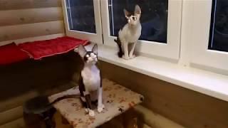 котята шоколадные с белым продажа