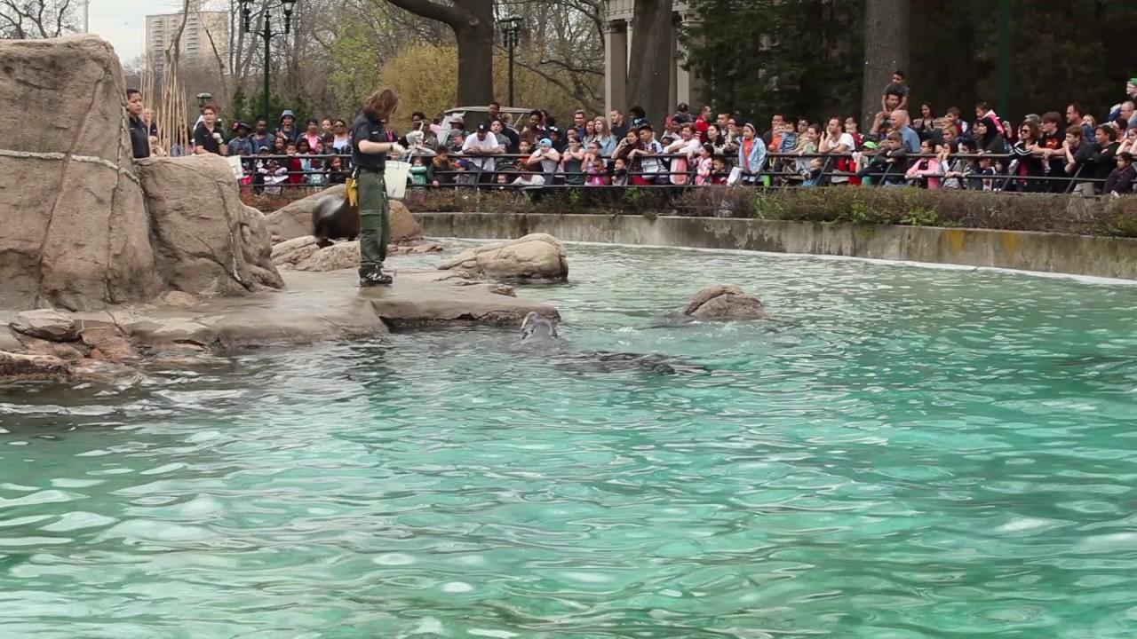 Sea Lion Feeding At The Bronx Zoo 12 April 2017 Youtube