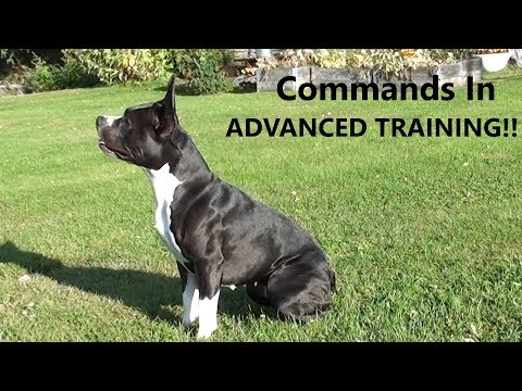 Amstaff: Advanced Dog-Training (Very Useful Commands To Know)