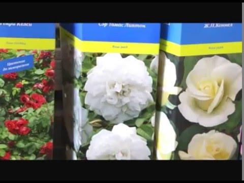 О канадских розах в Сибири