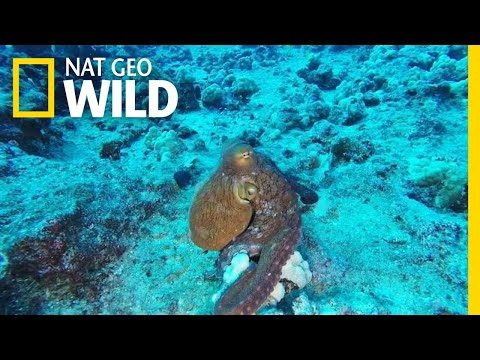 This Incredible Octopus Looks Psychedelic | Nat Geo Wild