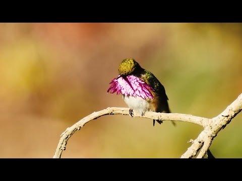 Wine-throated Hummingbird (Atthis ellioti), Guatemala