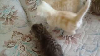 Самые редкие окрасы шотландских вислоухих.Kittens.