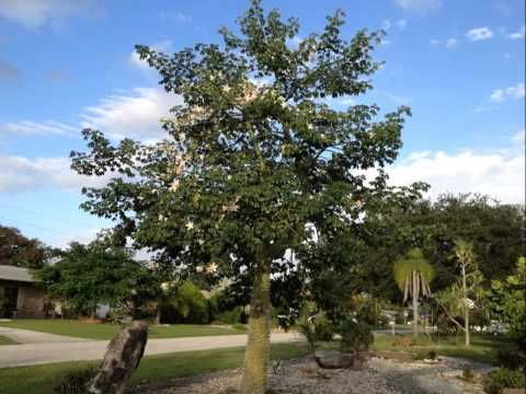 Floss Silk Tree (Chorisia speciosa) -- Flowers and Trees, Florida